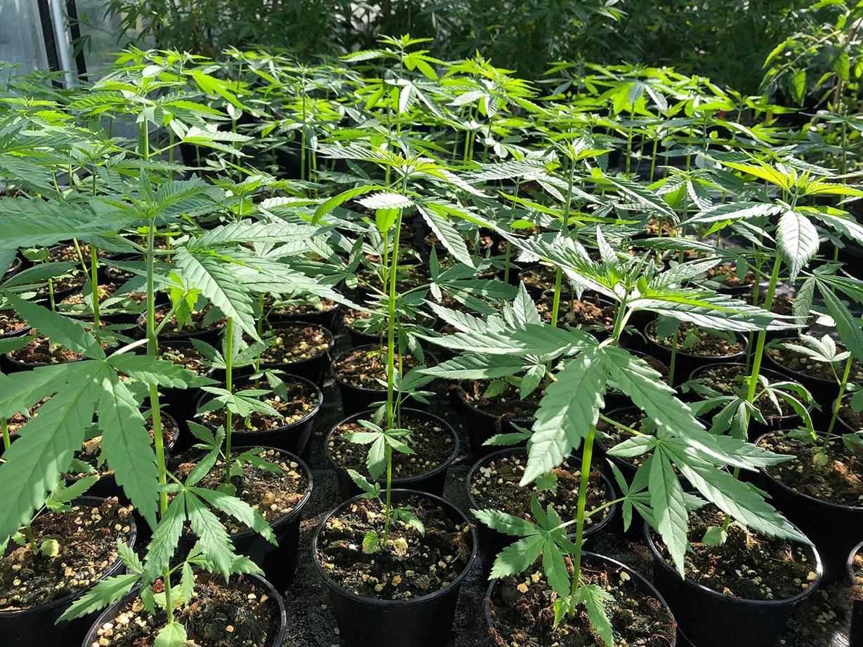 cannabis plants organic cultivation ts1 proline